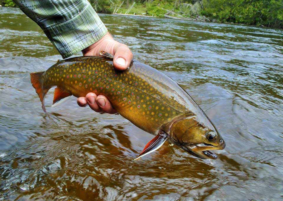 Brook trout fishing northern ontario canada for Trout fish pictures