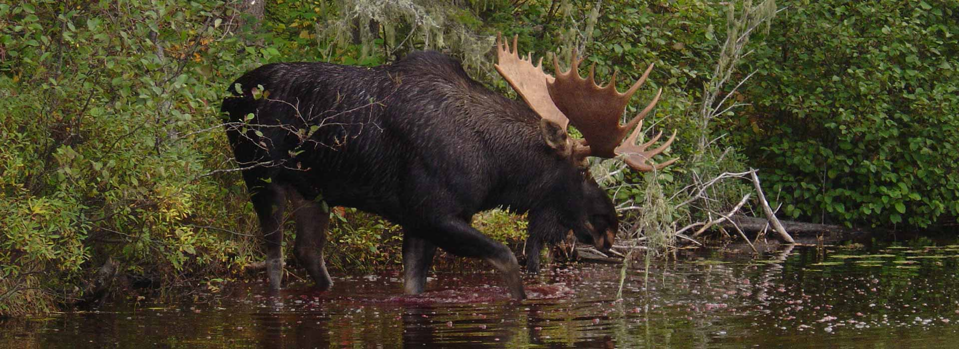 moose-hunting-algoma