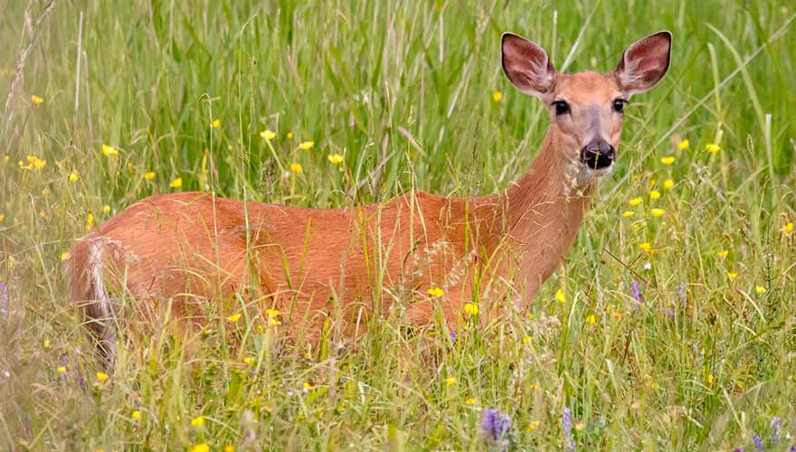 young deer in tall grass on st joseph island