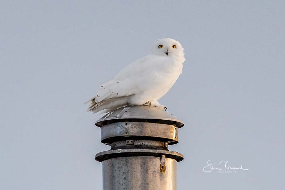10-snowy-owl-on-stove-pipe