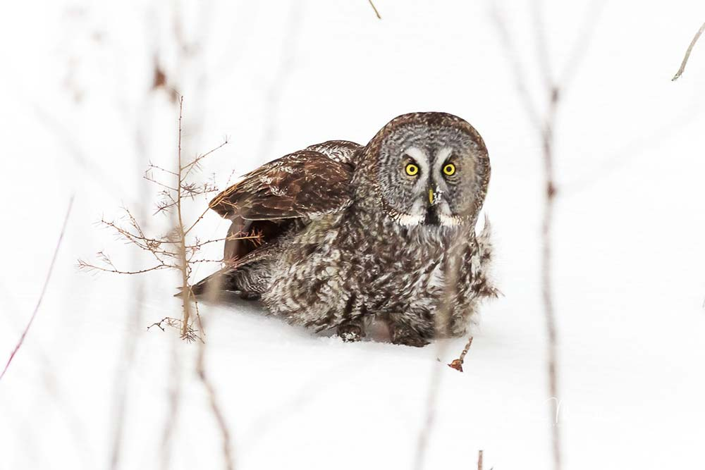 11-great-grey-in-snow