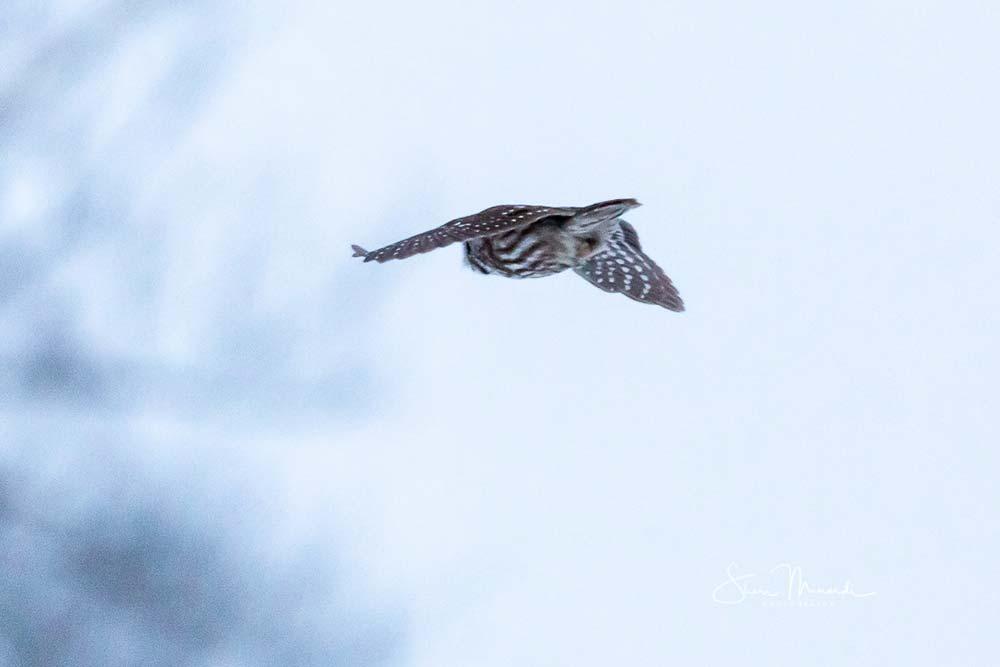 12-boreal-owl-1