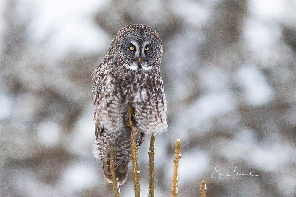 14-great-gray-owl-perched-on-tree