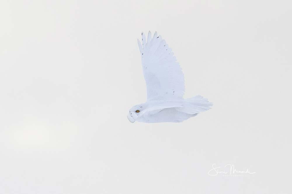 15-tarbutt-male-snowy-owl-in-flight