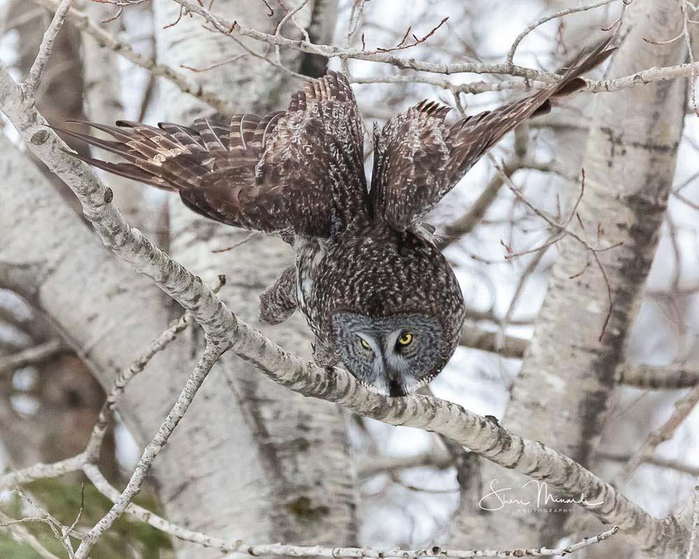 16-great-grey-in-flight-prey-attack