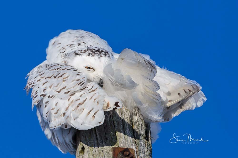 17-female-snowy-owl-preening