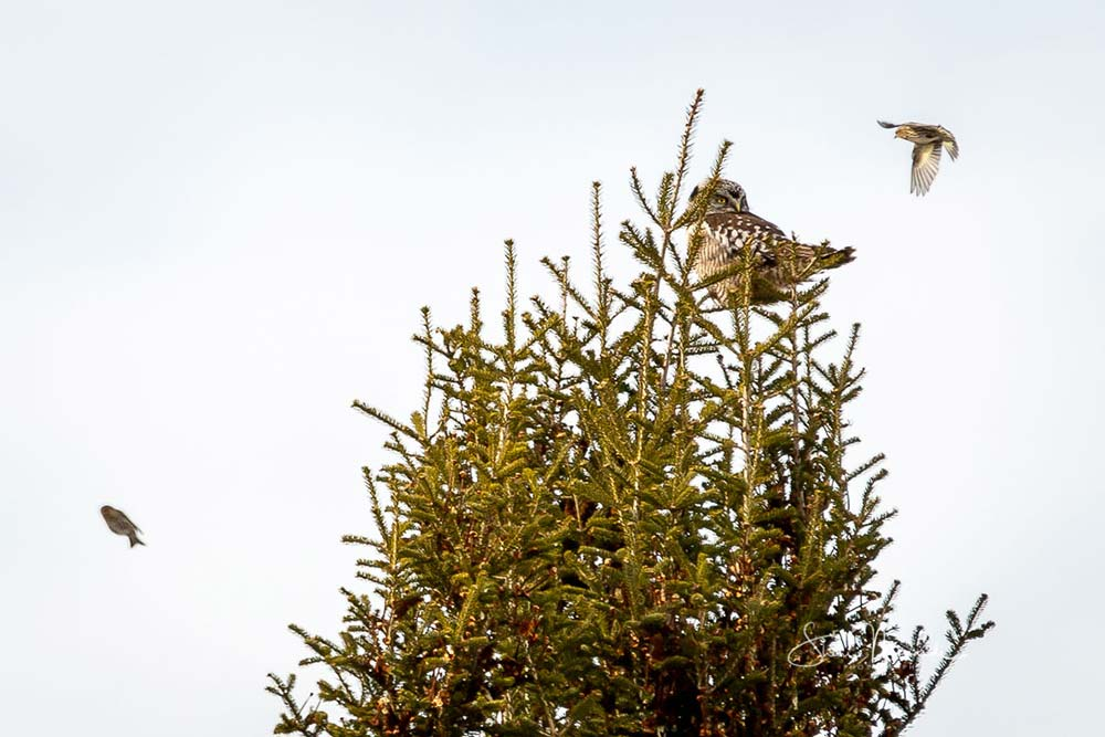 18-northern-hawk-owl-with-pestering-birds