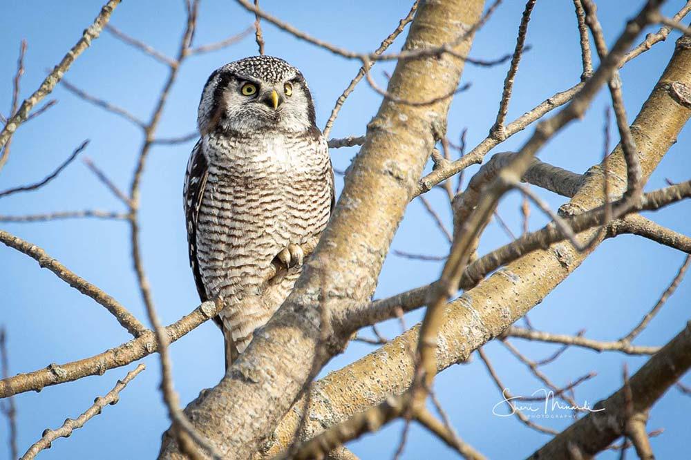 2-northern-hawk-owl