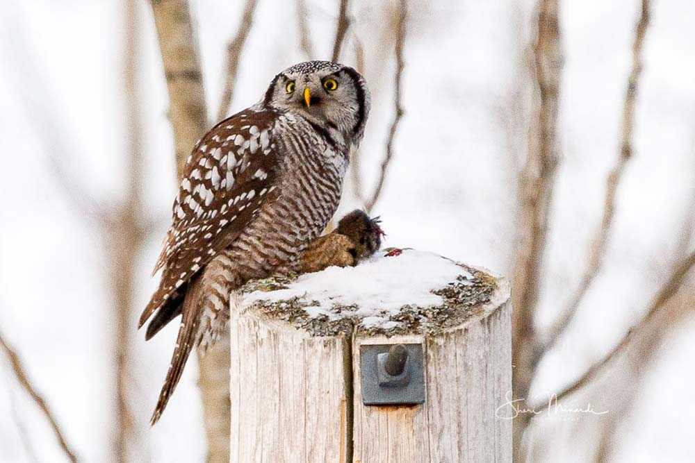 20-northern-hawk-owl-eating-deer-mouse