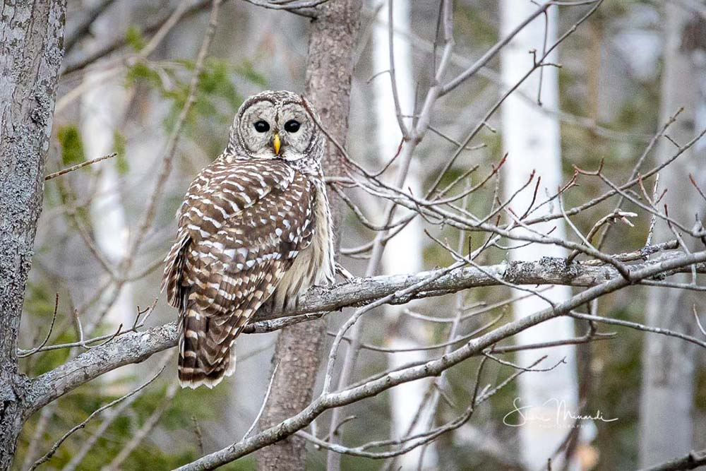 23-barred-owl-perched-on-limb