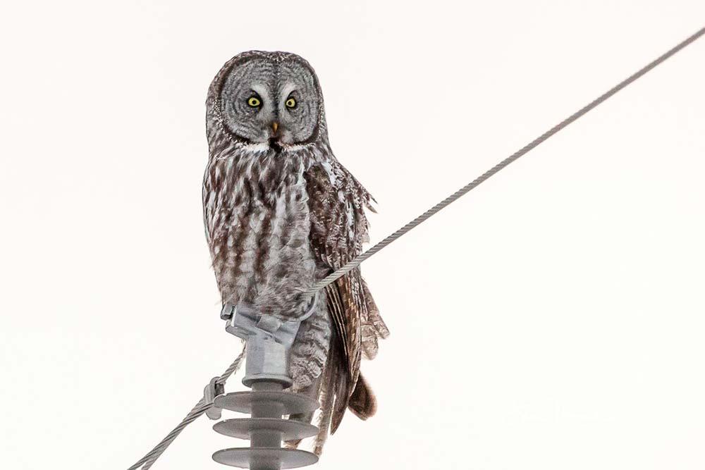 6-Great-Gray-Owl