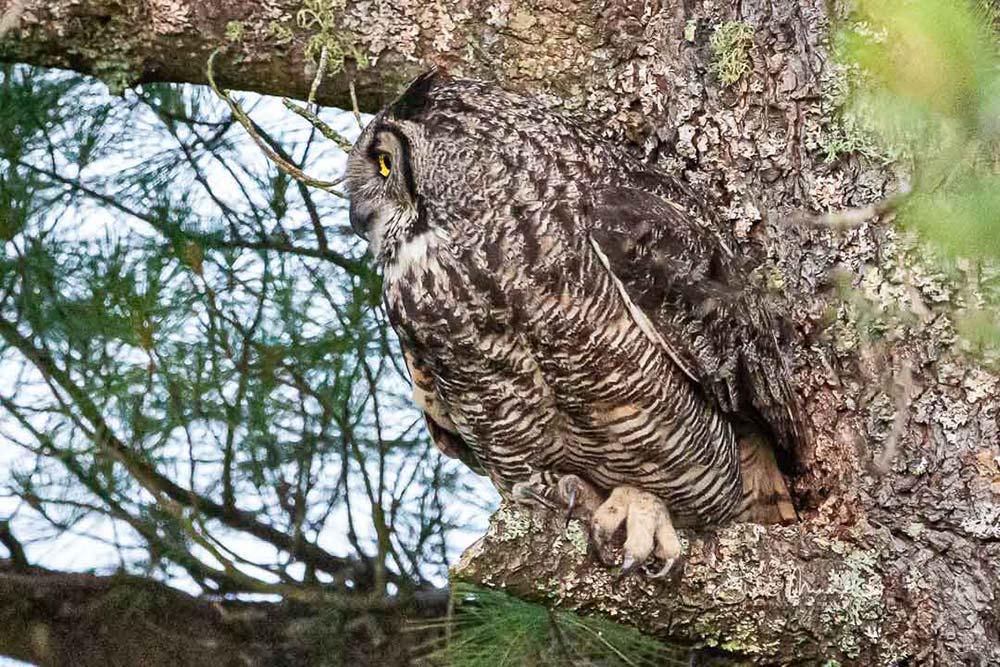 7-great-horned-owl-mom