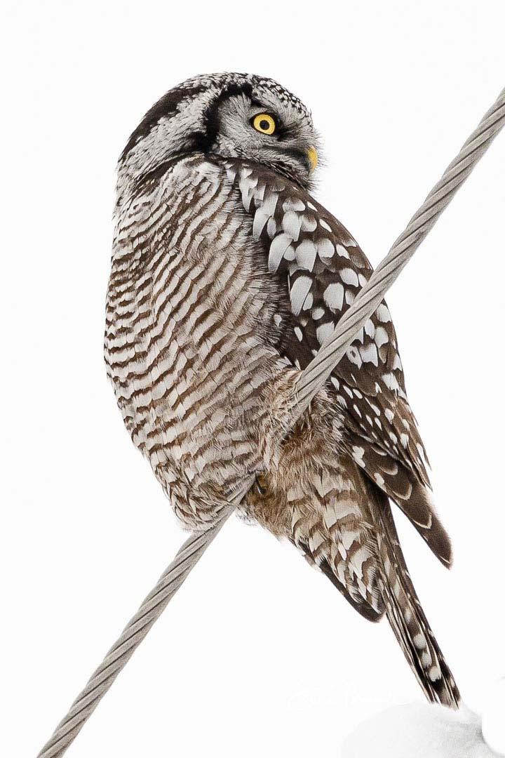 9-northern-hawk-owl-on-wire