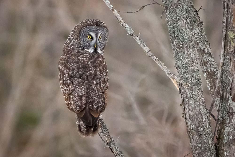 23-Great-Grey-Owl-December-31-2018-(44-of-44)