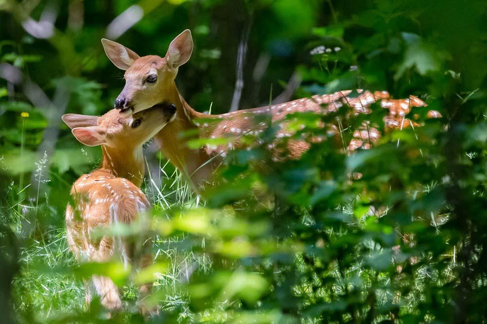 24-Deer-Fawns-Love-2017