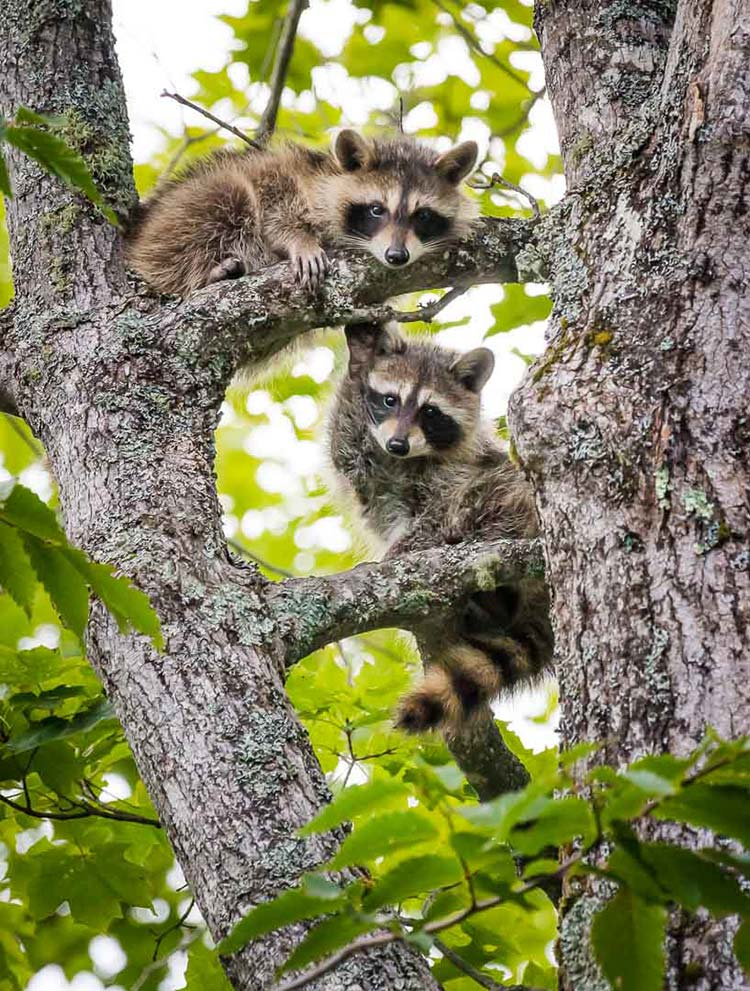 25-Hanging-out-Kit-Racoons