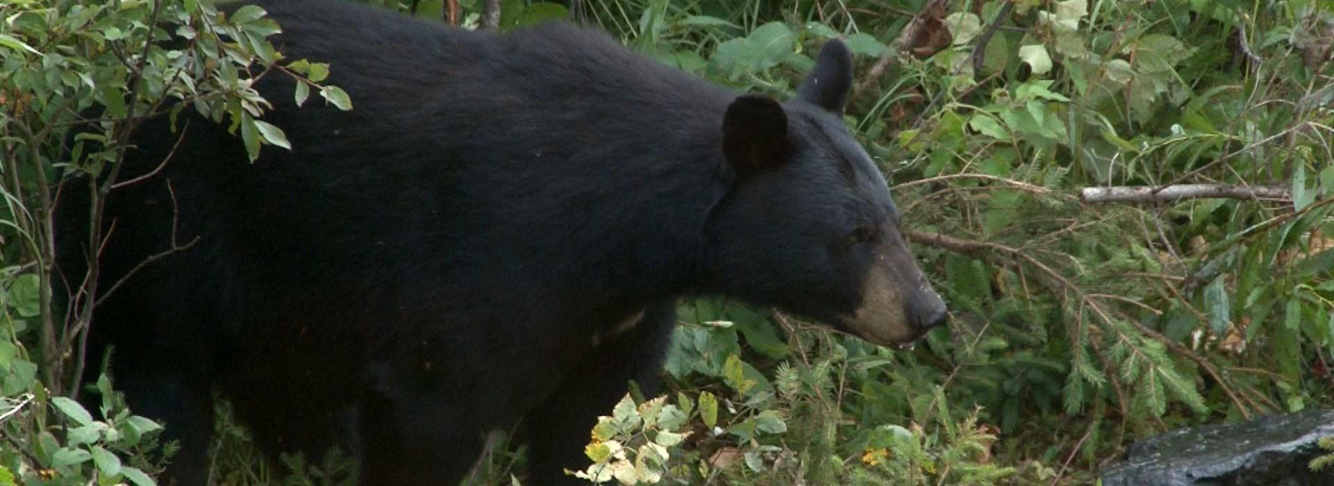 bear-hunting-in-algoma
