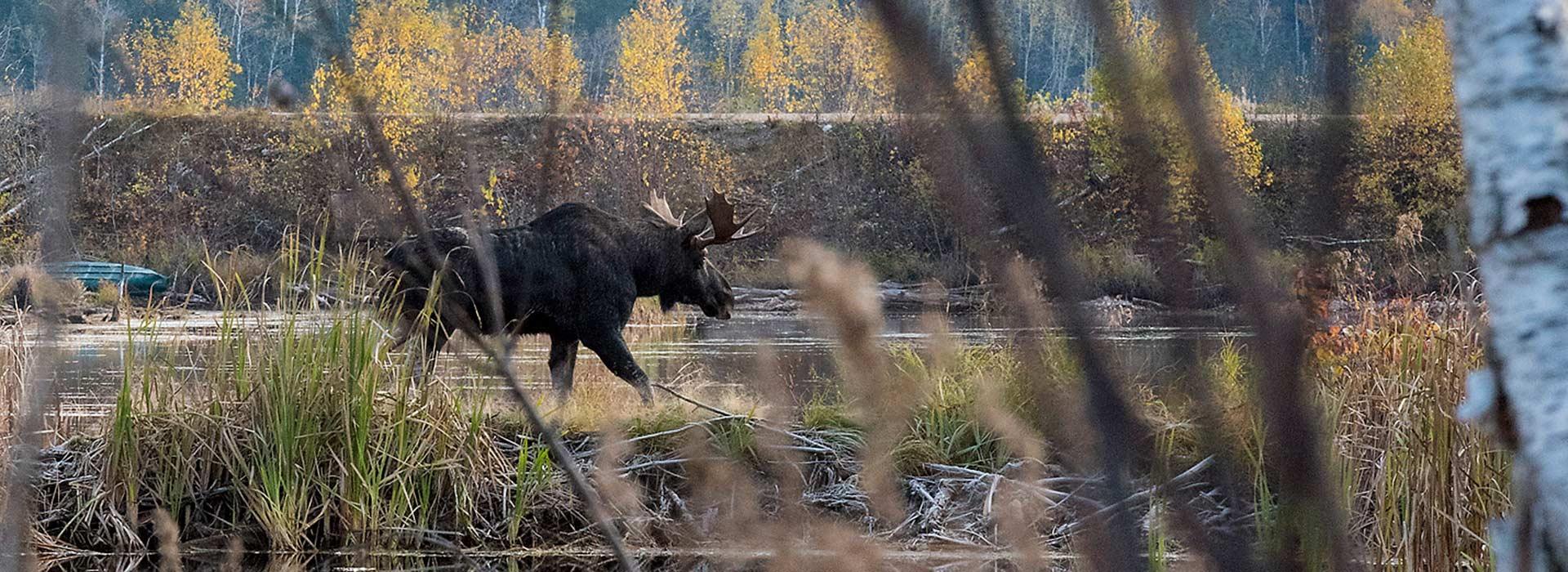 moose-hunting-in-algoma