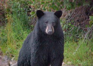 bear-hunting-photo-4