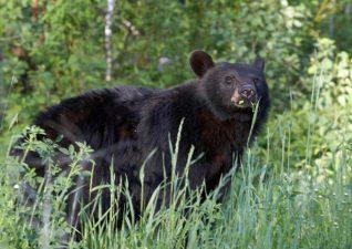 bear-hunting-photo-5