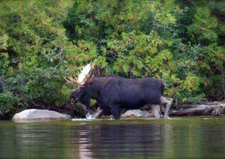 moose-hunting-photo4