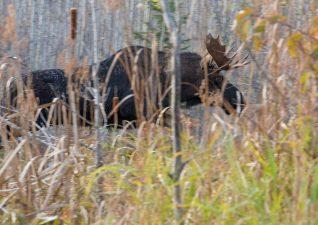 moose-hunting-photo6