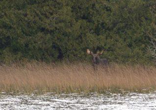 moose-hunting-photos