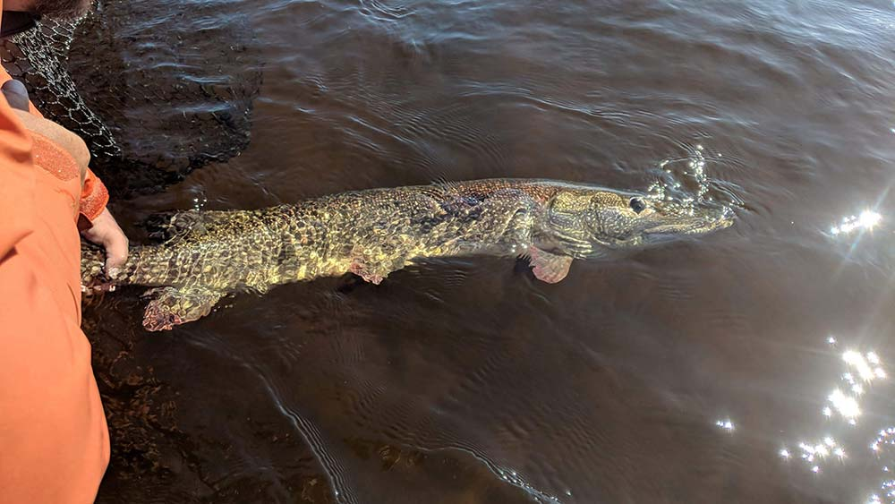 northern-pike-in-algoma-img-5