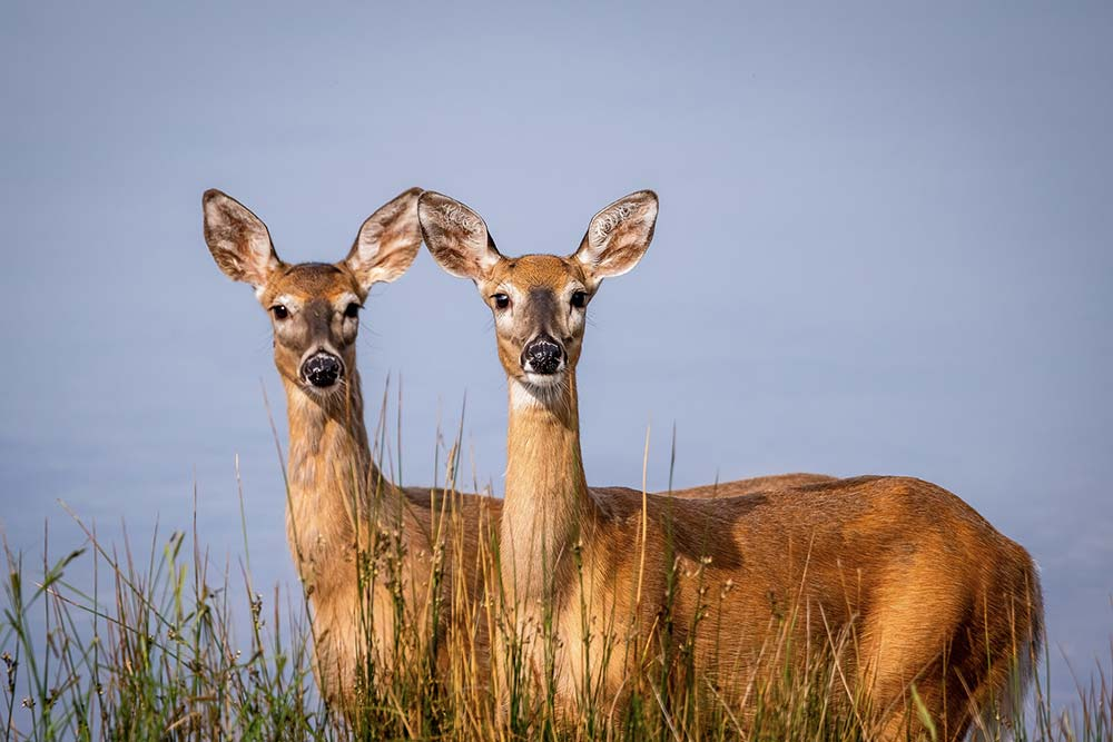11-Double-White-Tailed-Deer