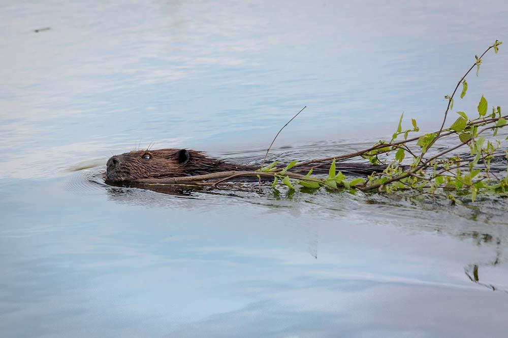 12-Beaver