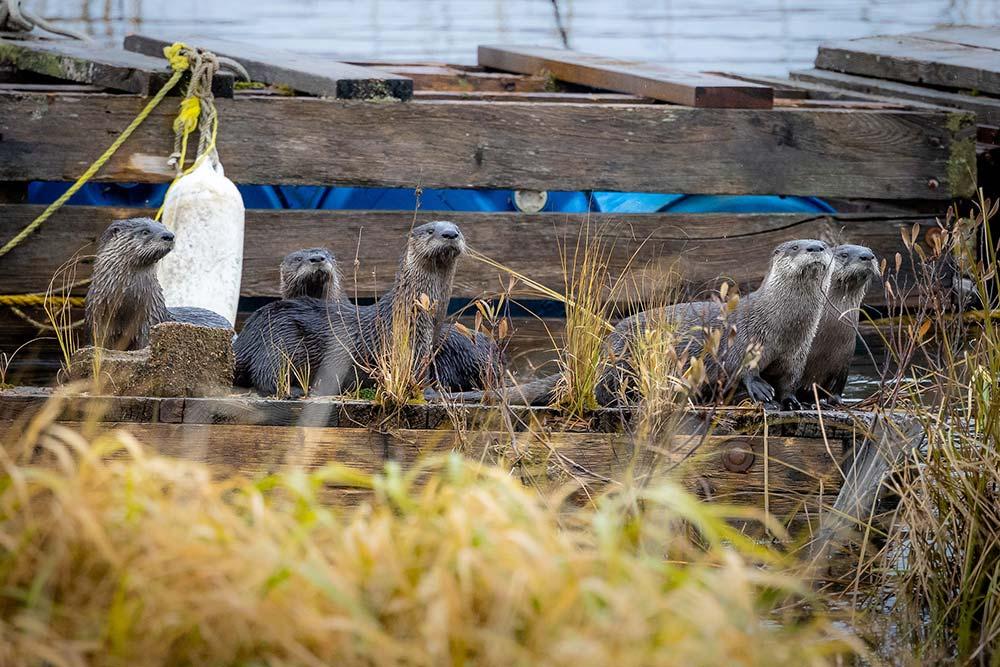 15-Otter-Stare-Down