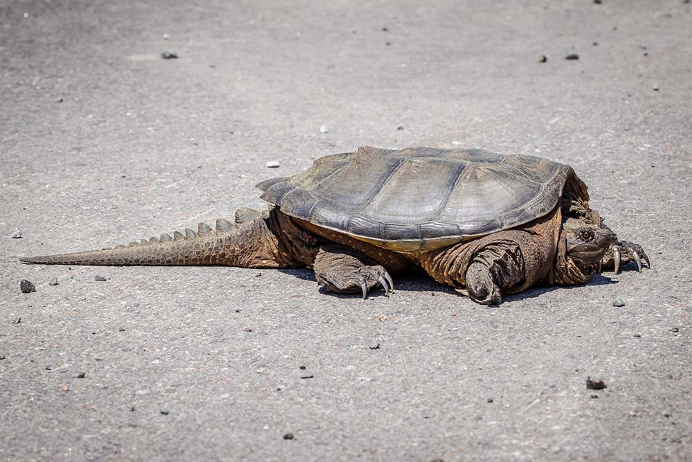 17Snapping-Turtle-on-HWY-17E
