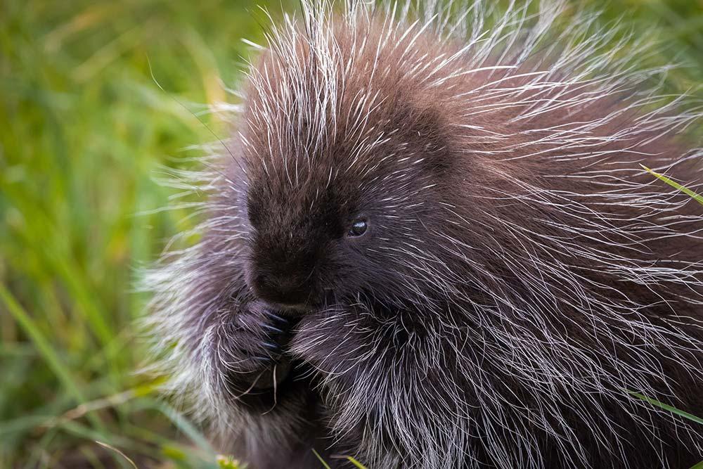 19-Munching-Porcupine