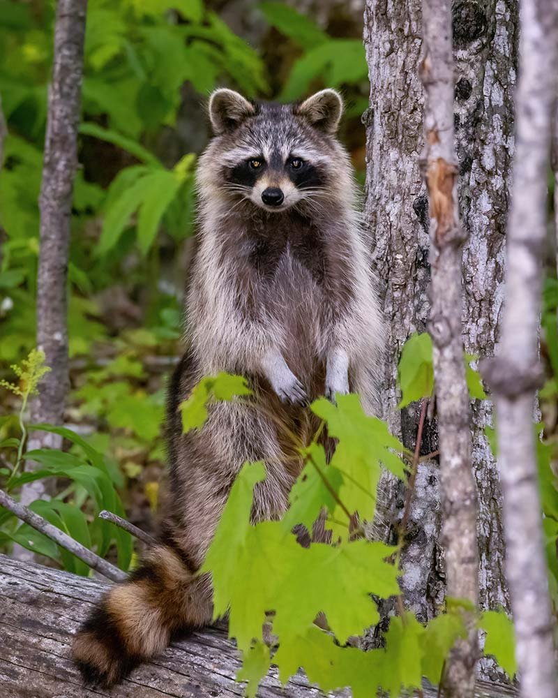 20-Racoon-Sitting-Up