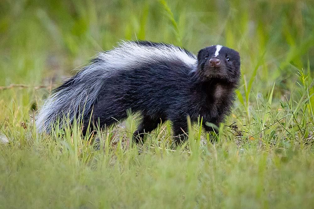 21-Skunk