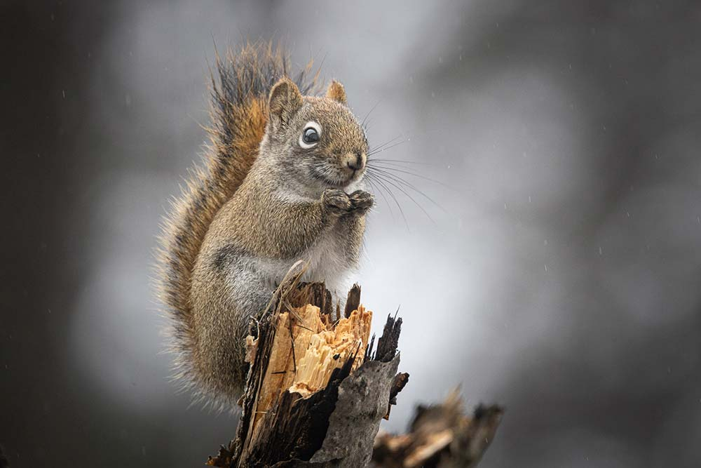 24-Smiling-Red-Squirrel