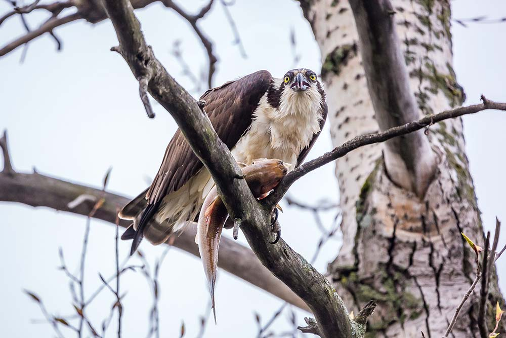 26-Osprey-in-Tree-with-Fish