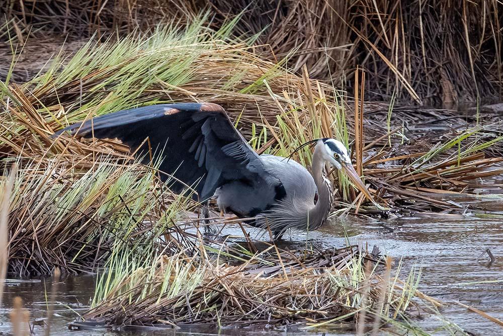 27-Great-Blue-Heron-Fishing