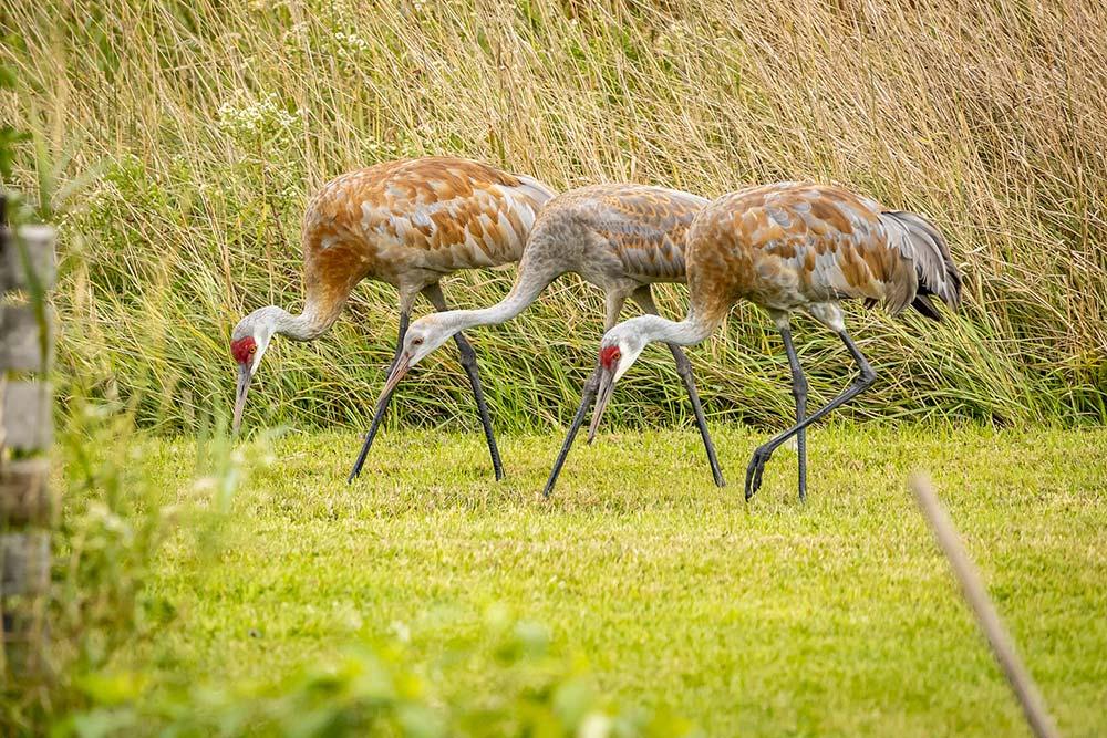 28-Sandhill-Cranes