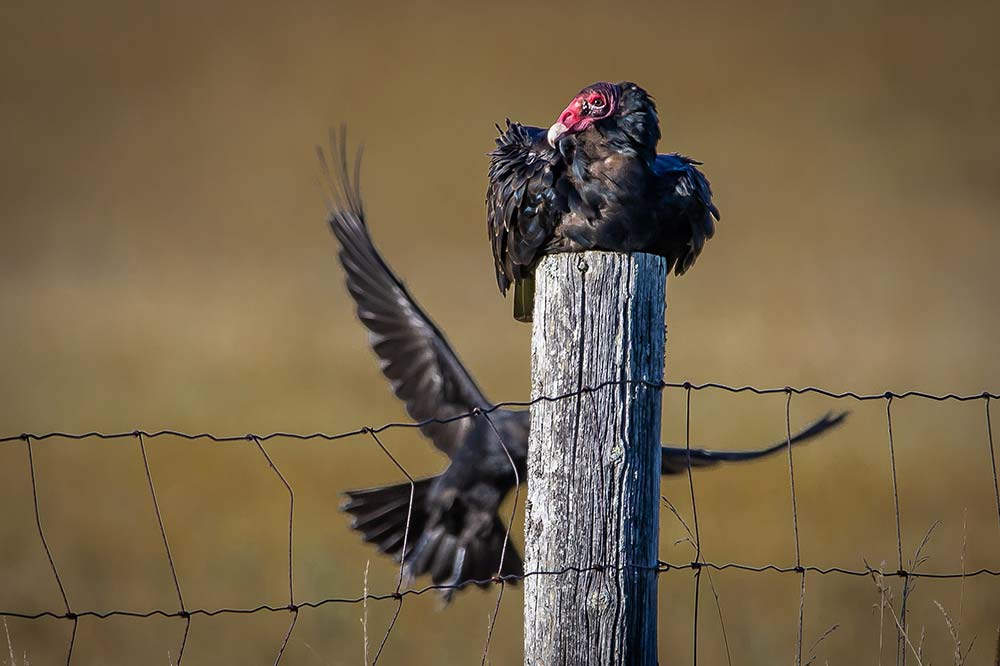 29-Turkey-Vulture-and-Crow