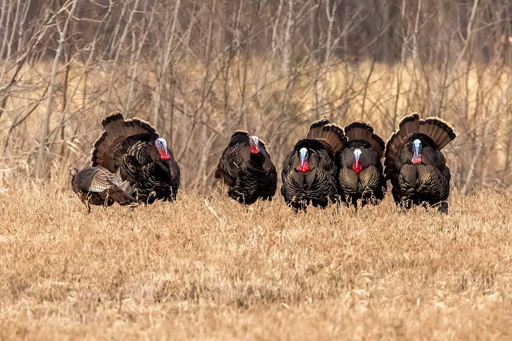 30-Turkeys_