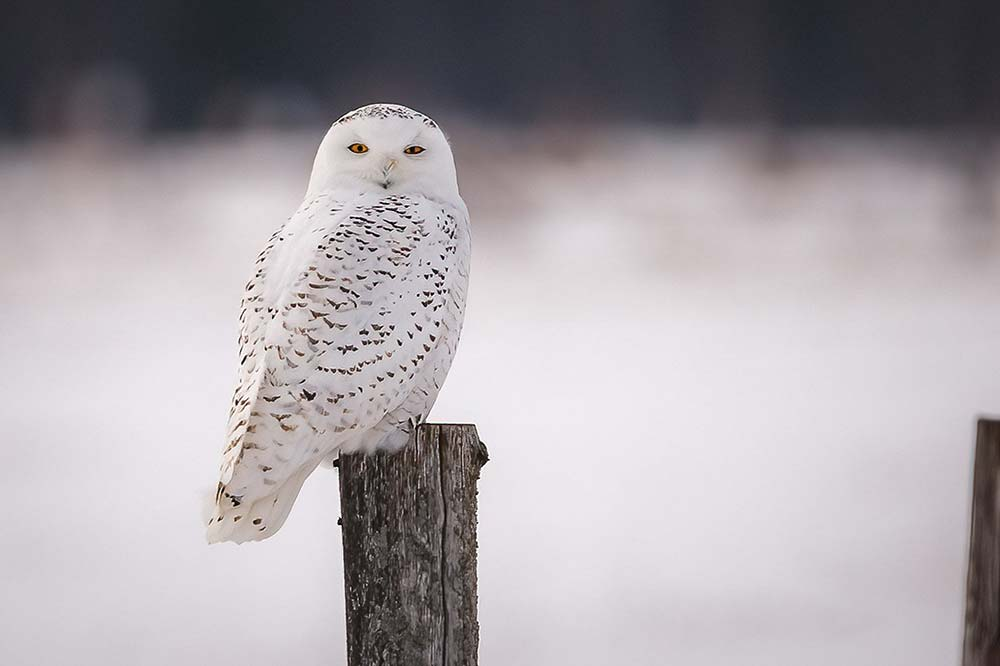 32-Female-Snowy-Owl-on-Pole
