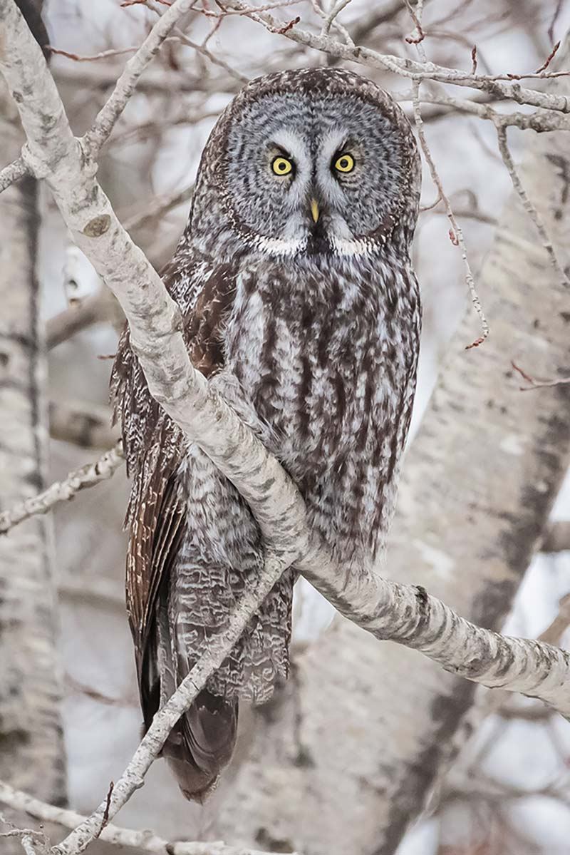 33-Great-Grey-in-Tree