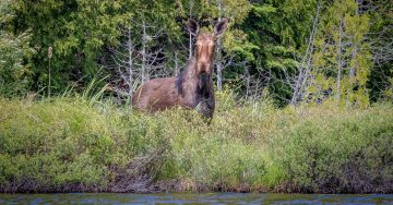 (pic-#6)-Moose-on-Shore-from-the-Kayak-header